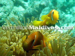 Clown fish and Sea Anemones near Vilamendoo Island Resort of the MALDIVES