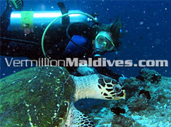 Encounter friendly turtles near Vilamendoo island Resort - Scuba Diving in Maldives Resorts Hotels