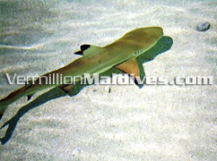 Feed Reef Sharks and enjoy the Underwater of Maldives in Vilamendoo Island Hotel in the Maldives