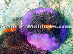 Snorkeling and Swimming in Vilamendoo Island Resort – Your Maldives Journey