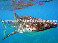 Whale Sharks Excursions in Vilamendoo – Largest Fish species in World – See it in Maldives Islands