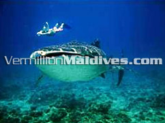 Diving and Snorkeling Holidays in Maldives Resort Villivaru