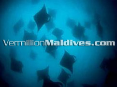 Manta Rays in MALDIVES - Unique Diving in Villivaru Island Resort