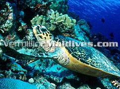 See a Turtle while diving in MALDIVES – Diving paradise of Villivaru