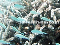 Diving the Maldives-Vivanta by Taj Corel Reef Resort