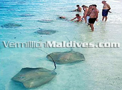 Feeding Rays in Maldives Resort Vivanta by Taj Corel Reef