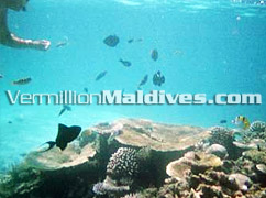 Snorkeling and Diving - Vivanta by Taj Hotel Corel Reef – Maldives 5star Resort