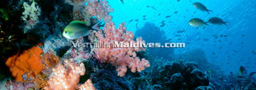 Maldives - Taking care of reef